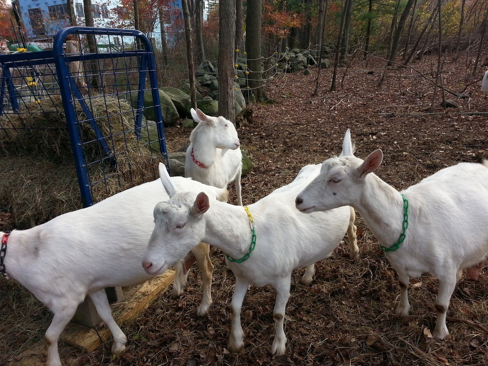 Saanen Goats for sale Buck Doe and young goats available